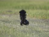striped skunk BRD1071.JPG