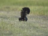 striped skunk BRD1072.JPG