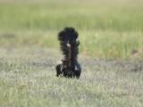 striped skunk BRD1074.JPG