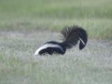 striped skunk BRD1084.JPG