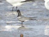 black tern BRD1207.JPG
