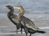 neotropic cormorant BRD1236.JPG