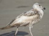 herring gull BRD1102.JPG