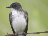 eastern kingbird BRD1493.JPG