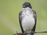 eastern kingbird BRD1501.JPG