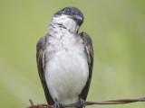 eastern kingbird BRD1503.JPG