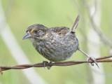 seaside sparrow BRD1464.JPG