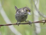seaside sparrow BRD1465.JPG