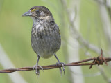 seaside sparrow BRD1472.JPG