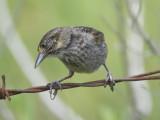 seaside sparrow BRD1477.JPG