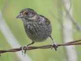 seaside sparrow BRD1478.JPG