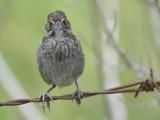 seaside sparrow BRD1482.JPG