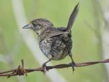 seaside sparrow BRD1485.JPG