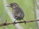 seaside sparrow BRD1489.JPG