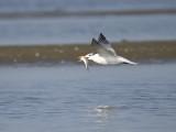 royal tern BRD1361.JPG
