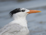 royal tern BRD1398.JPG