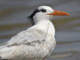 royal tern BRD1406.JPG