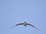 gull-billed tern BRD1334.JPG