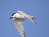 gull-billed tern BRD1352.JPG