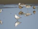gull-billed tern BRD1358.JPG