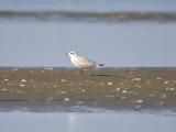 gull-billed tern BRD1364.JPG