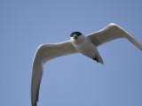 gull-billed tern BRD1370.JPG