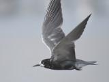 black tern BRD1632.JPG