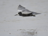 black tern BRD1633.JPG