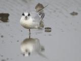 forster's tern BRD1589.JPG