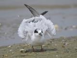 forster's tern BRD1763.JPG