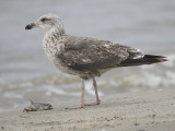 lesser black-backed gull BRD1510.JPG