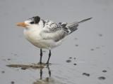 royal tern BRD1588.JPG