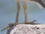 black-crowned night heron BRD1952.JPG