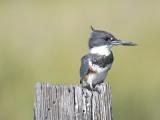 belted kingfisher BRD1840.JPG