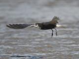 black tern BRD1897.JPG