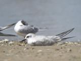 gull-billed tern BRD2280.JPG