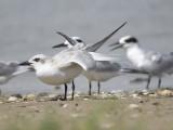 gull-billed tern BRD2244.JPG