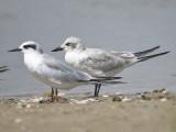 gull-billed tern BRD2239.JPG