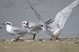 gull-billed tern BRD2240.JPG