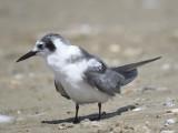 black tern BRD2254.JPG