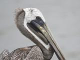 brown pelican BRD2579.JPG