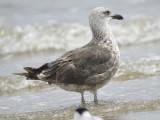 lesser black-backed gull BRD2569.JPG