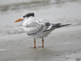 royal tern BRD2388.JPG