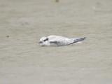 least tern BRD2549.JPG