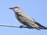 western kingbird BRD4034.JPG