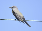 western kingbird BRD4026.JPG