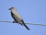 western kingbird BRD4021.JPG