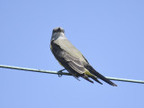western kingbird BRD4020.JPG