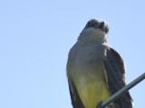 western kingbird BRD4008.JPG