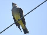 western kingbird BRD4007.JPG